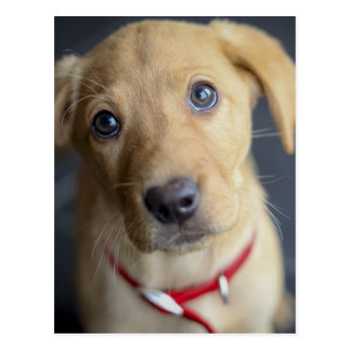 Fox Red Labrador Puppy Postcard