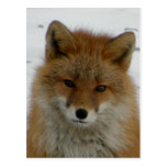 Fox rojo Aleutian Tarjeta Postal