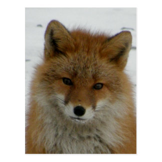 Fox rojo Aleutian Tarjetas Postales