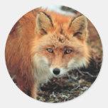 Fox rojo en el cabo Newenham Etiqueta Redonda