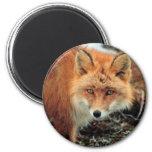 Fox rojo en el cabo Newenham Iman Para Frigorífico