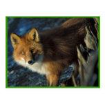 Fox rojo en el naufragio Courtney Ford Postales