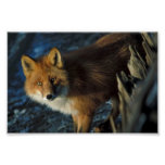 Fox rojo en el naufragio Courtney Ford Posters