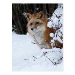 Fox rojo en la nieve postal