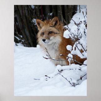 Fox rojo en la nieve póster