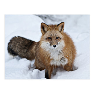 Fox rojo en la nieve tarjeta postal