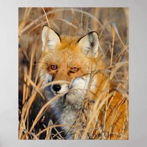 Fox rojo en las malas hierbas posters