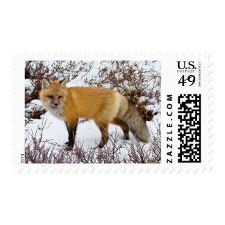 Fox rojo en nieve en invierno sellos