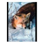 Fox rojo en nieve tarjetas postales