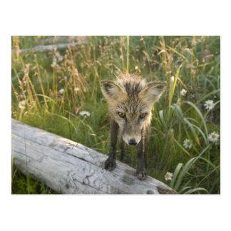 Fox rojo, fulva del Vulpes en el registro, Wildflo Postal