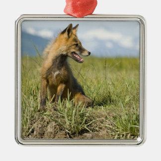 Fox rojo, fulva del Vulpes, parque nacional de Kat Ornato