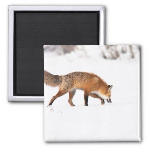 Fox rojo imanes
