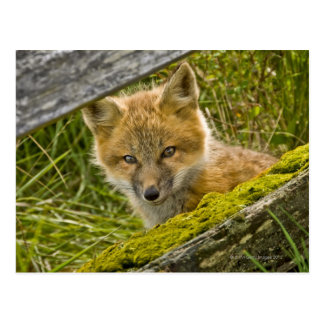 Fox rojo joven que mira a través de la cerca en tarjetas postales