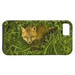 Fox rojo joven que sale de la ocultación en arbust iPhone 5 Case-Mate funda