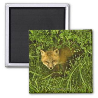 Fox rojo joven que sale de la ocultación en arbust imán cuadrado