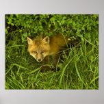 Fox rojo joven que sale de la ocultación en arbust poster