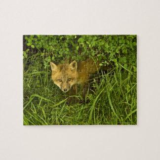 Fox rojo joven que sale de la ocultación en arbust puzzles con fotos