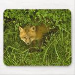 Fox rojo joven que sale de la ocultación en arbust alfombrilla de raton