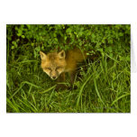 Fox rojo joven que sale de la ocultación en arbust tarjeton