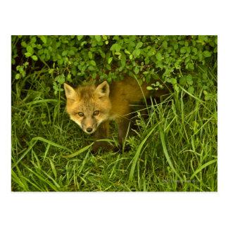 Fox rojo joven que sale de la ocultación en arbust postales