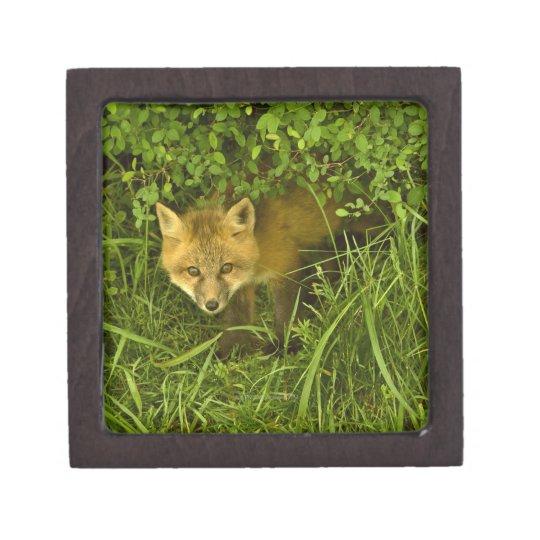Fox rojo joven que sale de la ocultación en cajas de regalo de calidad