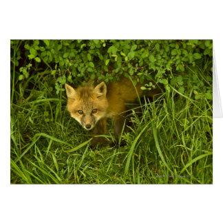 Fox rojo joven que sale de la ocultación en tarjeta de felicitación