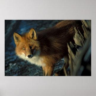 Fox rojo impresiones