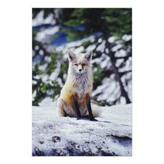 Fox rojo que se sienta en el banco de la nieve, Vu Fotografías