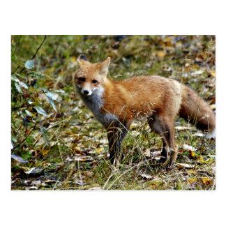 Fox rojo postales