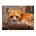 Fox rojo tarjetas postales