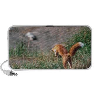 Fox rojo, vulpes del Vulpes, península de Alaska,  Altavoz