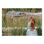 Fox rojo, vulpes del Vulpes, península de Alaska,  Fotografía