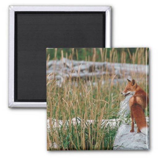 Fox rojo, vulpes del Vulpes, península de Alaska,  Imán Cuadrado