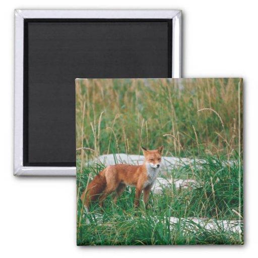 Fox rojo, vulpes del Vulpes, península de Alaska, Imán