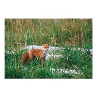 Fox rojo, vulpes del Vulpes, península de Alaska, Fotografias