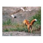 Fox rojo, vulpes del Vulpes, península de Alaska,  Tarjeta Postal