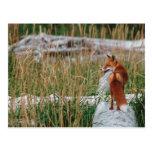 Fox rojo, vulpes del Vulpes, península de Alaska, Postales