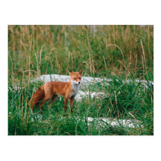 Fox rojo, vulpes del Vulpes, península de Alaska, Postal