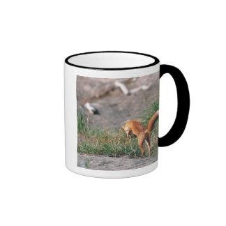 Fox rojo, vulpes del Vulpes, península de Alaska,  Tazas