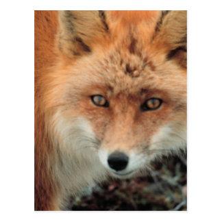 Fox Species Postcard