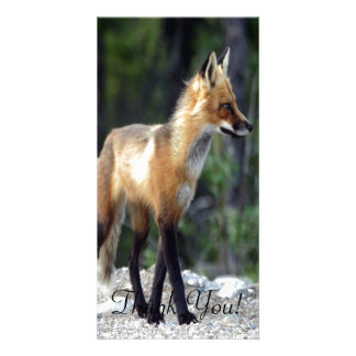 Fox Stands in Pine Woods On Back Legs Card