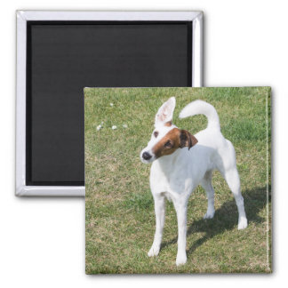 Fox Terrier Smooth dog beautiful photo magnet
