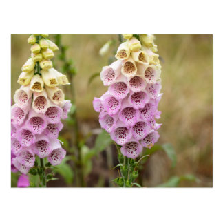 Foxclove flowers (Digitalis purpurea) Postcard
