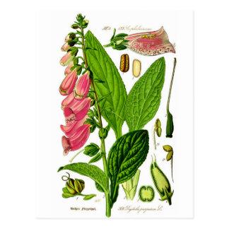 Foxglove (Digitalis purpurea) Botany Illustration Postcards