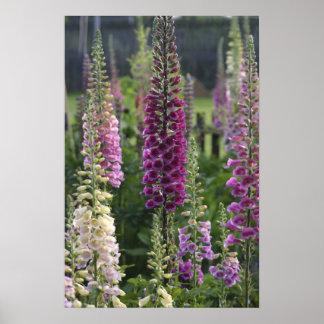 Foxglove flowers ... poster
