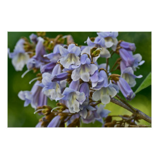 Foxglove Tree Purple Blossoms Poster