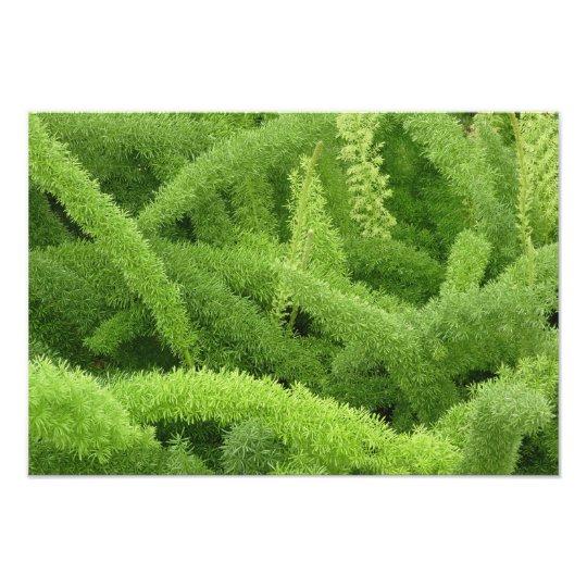 Foxtail Fern, Asparagus densiflorus myers Photo Print