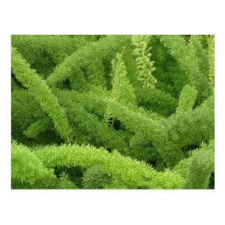 Foxtail Fern, Asparagus densiflorus myers Postcard