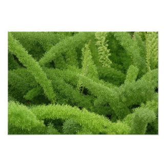 Foxtail Fern, Asparagus densiflorus myers Poster