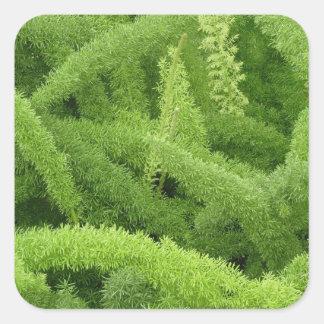 Foxtail Fern, Asparagus densiflorus myers Square Sticker